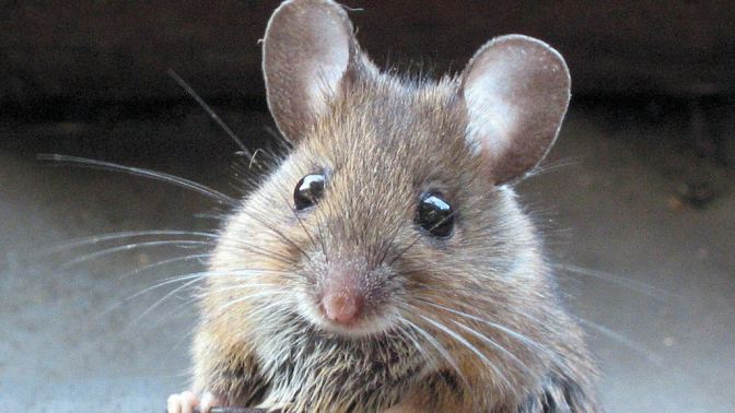 Prevent Rodent Damage to Your Pool Heater